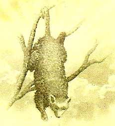 Closeup of the possum from the 1906 Possum Glory Letterhead