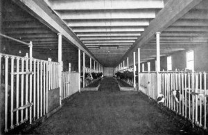 Interior of cow barn